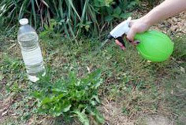A l'aide d'un pulvérisateur, on applique directement le désherbant naturel et du vinaigre sur les mauvaises herbes de la pelouse afin qu'ils ne viennent pas gêner les autres plantes.